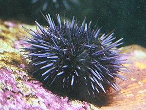 Strongylocentrotus purpuratus - Strongylocentrotus purpuratus