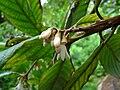 Styrax argenteus 2.jpg