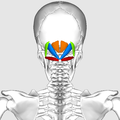 Suboccipital muscles05.png