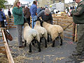 Suffolk Sheep trio.JPG