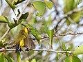 Sulawesi sunbird trsr DSCN0850 v1.JPG