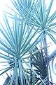Sunburst plants.JPG