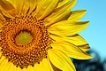 Sunflower (231184911).jpeg