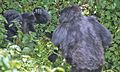 Susa group, mountain gorillas - Flickr - Dave Proffer (32).jpg