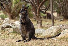 Swamp-Wallaby-joey-Wallabia-bicolor-cropped.jpg