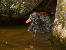 Swamp hen chick444.jpg