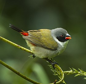 Swee Waxbill - Natal - South Africa.jpg