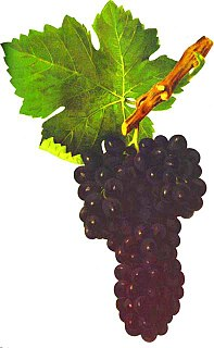 Syrah Dark-skinned grape variety