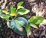 Syzygium stocksii 02.JPG
