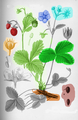 Szablon roślina pokrój kwiat liść owoc kwiatostan pąk korzeń nasiona.png