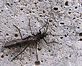 Taeniopteryx maura.jpg