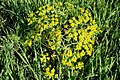 Tafuri Euphorbia helioscopia.jpg