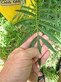 Tagetes minuta leaf1 (16189161970).jpg