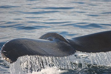 Tail of a Humpback Whale (8577619195).jpg