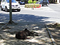 Talca, stray dog (11164510036).jpg