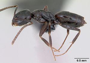 T. erraticum Arbeiterin