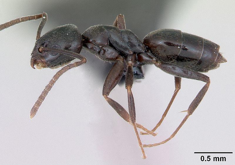 Profile view of ant Tapinoma erraticum specimen casent0173199.