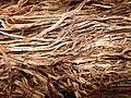 Tapis de racines de platane sous trottoir Platanus root mat under sidewalk Lille northern France 03.jpg