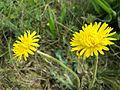 Taraxacum serotinum sl9.jpg