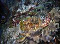 Tassled Scorpionfish Scorpaenopsis oxycephala (7976501037).jpg