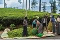 Tee Ernte Ceyclon Sri Lanka (30039808356).jpg