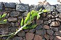 Teguise Guatiza - Jardin - Hylocereus undatus 01 ies.jpg