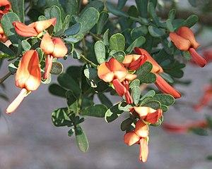 Brongniartieae - Templetonia retusa