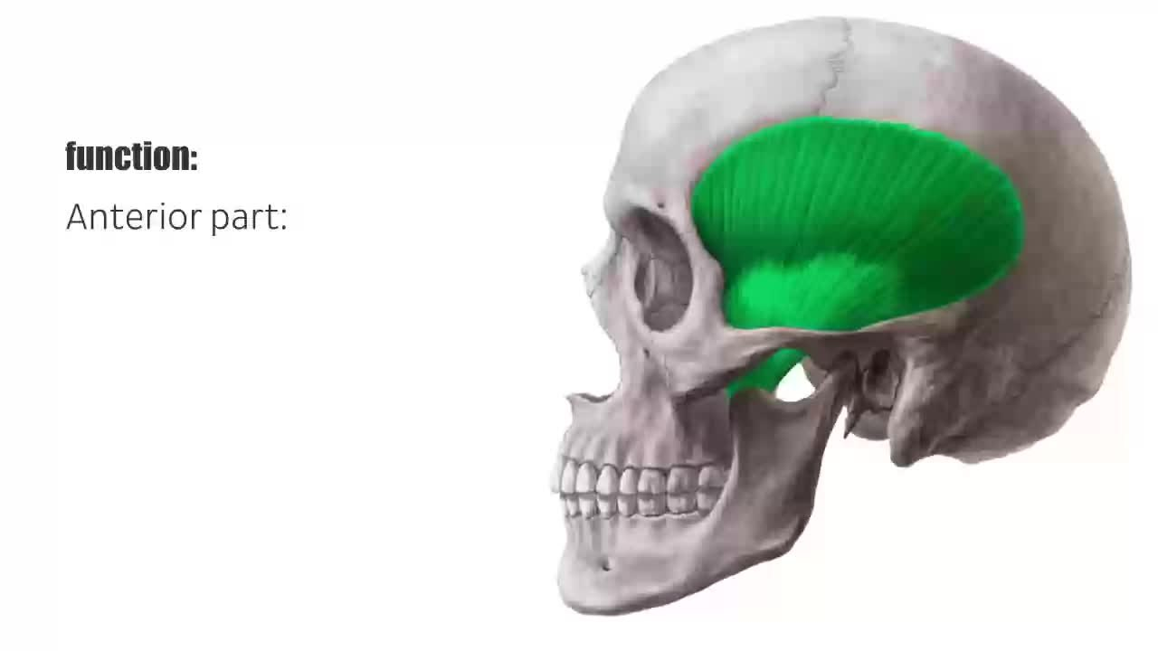 Fantastisch Temporalis Muskelanatomie Zeitgenössisch - Menschliche ...