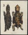 Testudo fimbriata - 1700-1880 - Print - Iconographia Zoologica - Special Collections University of Amsterdam - UBA01 IZ11600151.tif