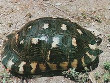 Testudo marginata wikipedia for Tartarughe di terra letargo