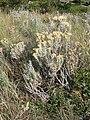 Tetradymia canescens (5018322112).jpg