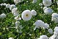 The Flower Fields at Carlsbad Ranch 87 2014-04-28.jpg
