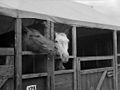The Royal Welsh Agricultural Show at Bangor 1958.jpg