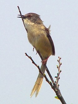 The Singer Yellow-bellied Prinia.jpg