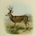 The deer of all lands (1898) Mule deer.png