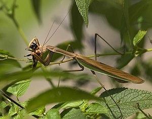 A mantis eating a bee. Location: Saitama, Japan