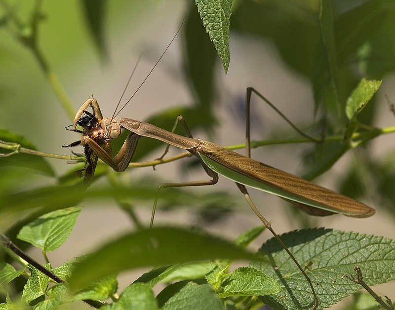 The mantis which eats a Bee20080829.jpg