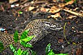 The monitor lizard.jpg