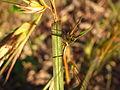 Themeda triandra var. japonica 4.JPG