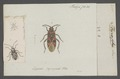 Therapha - Print - Iconographia Zoologica - Special Collections University of Amsterdam - UBAINV0274 040 05 0040.tif