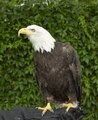 This is Cheyenne, a seven-year-old female bald eagle, who appeared as part of a presentation by HawkQuest, a nonprofit environmental-education organization that employs birds of prey such as hawks, LCCN2015633472.tif