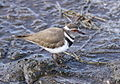 Three-banded Plover (or Three-banded Sandplover), Charadrius tricollaris, at Rietvlei Nature Reserve (10073276833).jpg