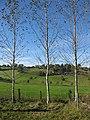 Three spindly birch trees - geograph.org.uk - 1543097.jpg