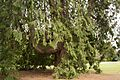 Thuja plicata, Christchurch Botanic Gardens, 2016-02-04-2.jpg