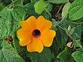 Thunbergia alata, Black-eyed Susan vine from Ooty.jpg