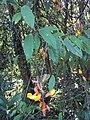 Thunbergia mysorensis 03.JPG