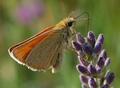 Thymelicus Unbekannter Schmetterling2.png