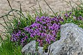 Thymus serpyllum at Lac de Roy (2).jpg