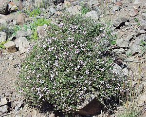 Thymus (plant) - Thymus vulgaris
