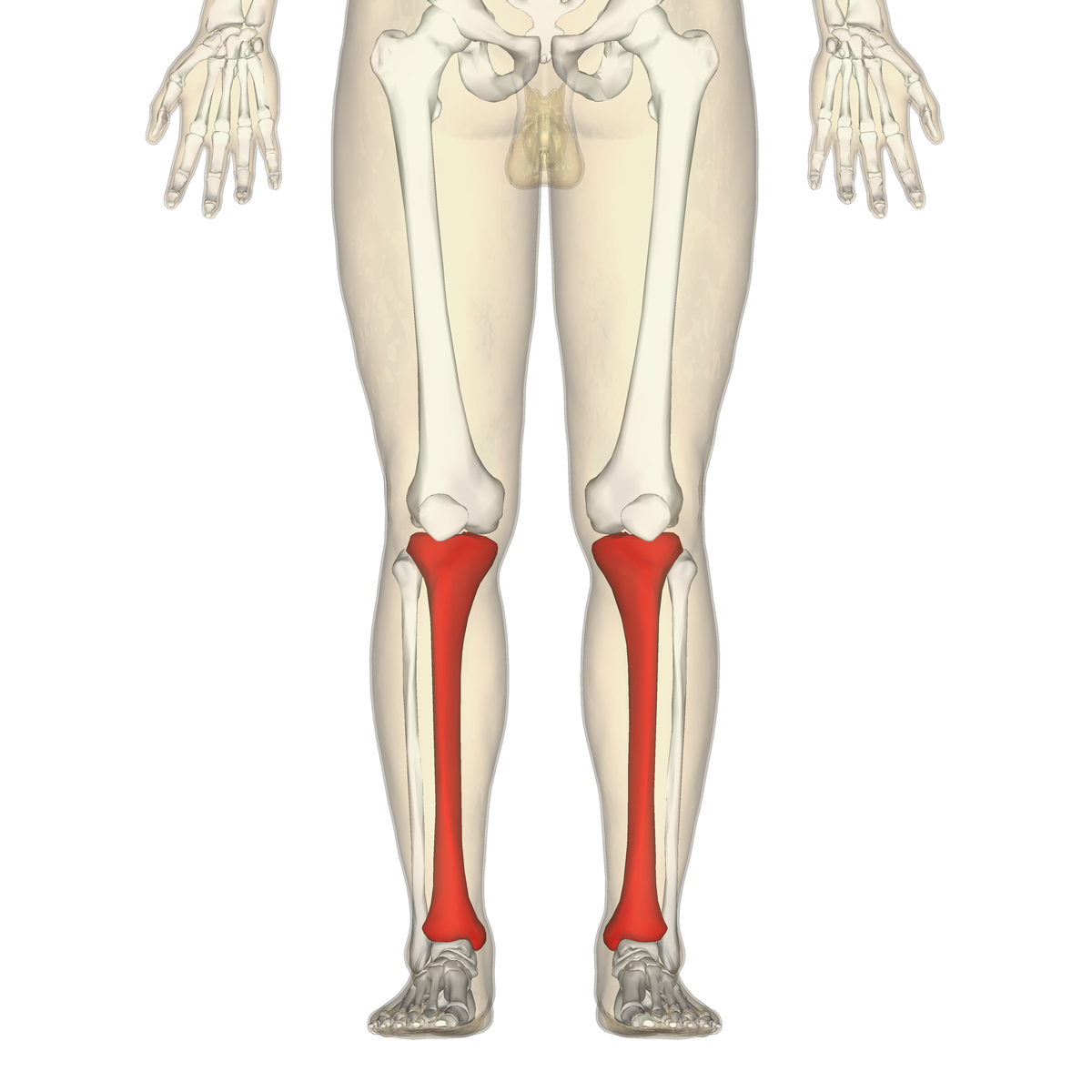 Leg Muscles Blank Diagram Google Block And Schematic Diagrams